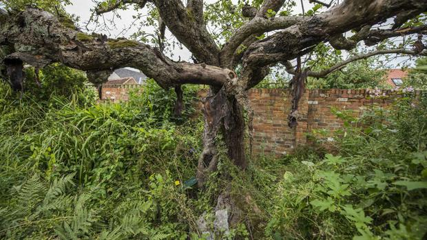 The original Bramley Apple tree in Southwell, Nottingham, has been shortlisted for the Tree of the Year award (Woodland Trust/PA)
