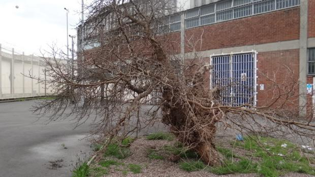 A mulberry bush at HMP Wakefield in Yorkshire, which has been shortlisted for the Tree of the Year award (Woodland Trust/PA)