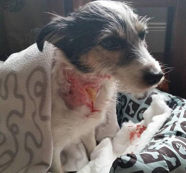 The dog with horrific neck wounds sustained in the attack at Helen's Bay