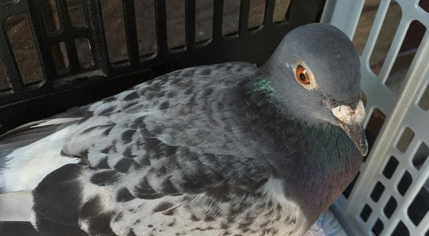 Walter the pigeon after he was rescued