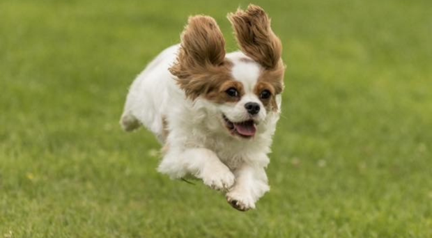 The winning picture of cavalier King Charles spaniel Lily, who was rescued from a puppy farm
