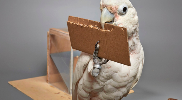 Goffin's cockatoo Dolittle making a tool from an unfamiliar material