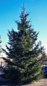 The 'tiny' Christmas tree in the town, which the council says is 30ft high