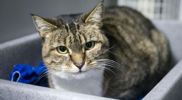 Baby, a female cat at Cats Protection Belfast Adoption Centre