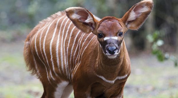 The eastern bongo calf that has been born at Dublin Zoo (Patrick Bolger/Dublin Zoo/PA)
