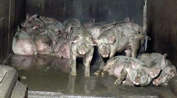 Footage of the pigs at Lambrook farm