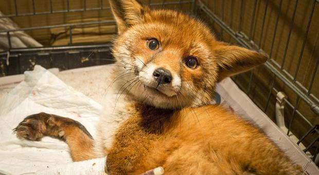 The rescued fox