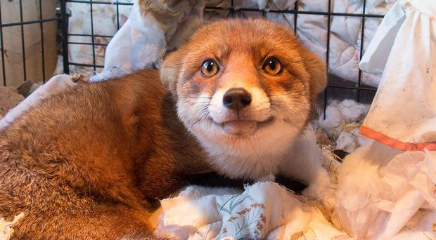 Sianna the fox is making good progress after falling down a cliff at Ballintoy,