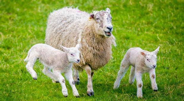 Sheep and lambs at the foot of Slemish Mountain in Antrim on the first official day of spring