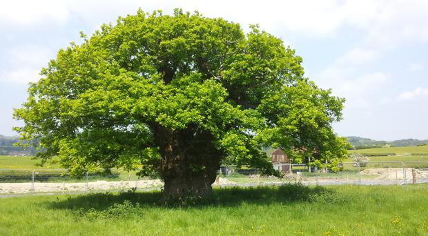 The Brimmon Oak came second (Woodland Trust/PA Wire)