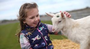 Lori Winter (7) meets Geoffrey the goat at the launch of the 149th Balmoral Show