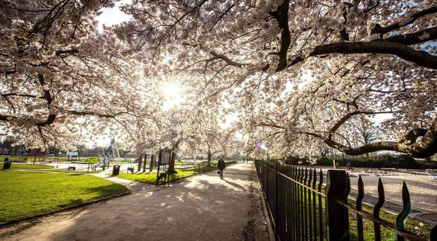 Blossom on trees at Highfields Park in Nottingham