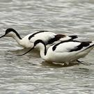 Two avocets have caused quite a stir
