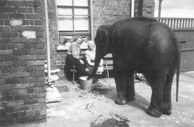Sheila the baby elephant inside a zookeeper's back yard during the Second World War