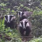 Dead badgers have been found in Castlereagh