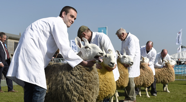 Border Leicester sheep and their lambs reared at Hydebank on show at Balmoral