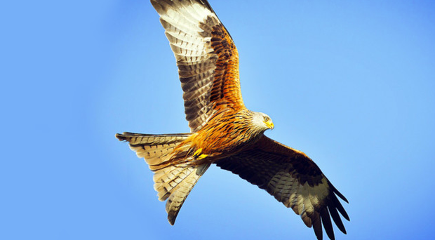 Red kites are mainly found in Co Down