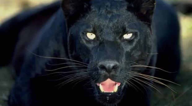 'Large black cat or panther' spotted in Co Down