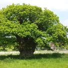 The Brimmon Oak in Newtown, Powys (The Woodland Trust/PA)