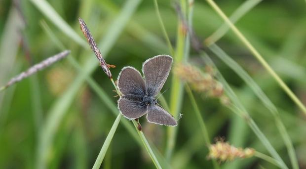 A Small Blue butterfly has been spotted in Co Fermanagh (Northern Ireland Environment Agency/PA)