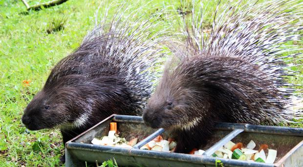 Eleven Cape porcupines arrived at zoo on June 9