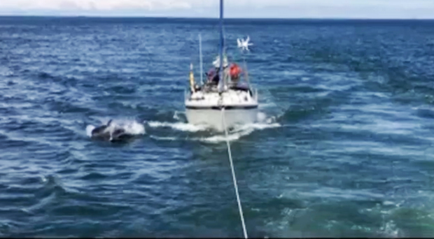 Dolphins swim alongside the RNLI lifeboat as it tows a stricken yacht