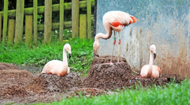 Flamingos at Belfast Zoo tend to their eggs
