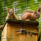 Belfast Zoo has enjoyed another conservation success with its native red squirrel programme