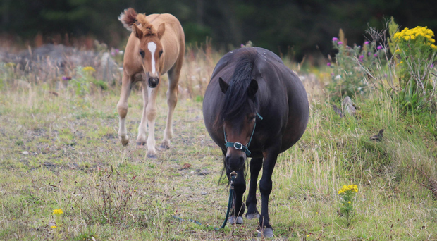 A mare and foal left abandoned on the old Portrush Catering College site