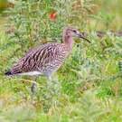 Curlews are under threat in Northern Ireland