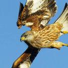 A red kite was found near Moneyslane with a suspected gun shot in its body
