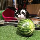 Floki's favourite food, watermelon