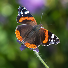 The red admiral's numbers were noticeably up during summer