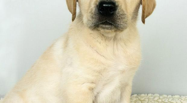 Presley the trainee guide dog as a puppy