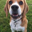 Wombat, a three-year-old beagle, went missing on September 27 and has not been seen since, despite huge efforts to find him