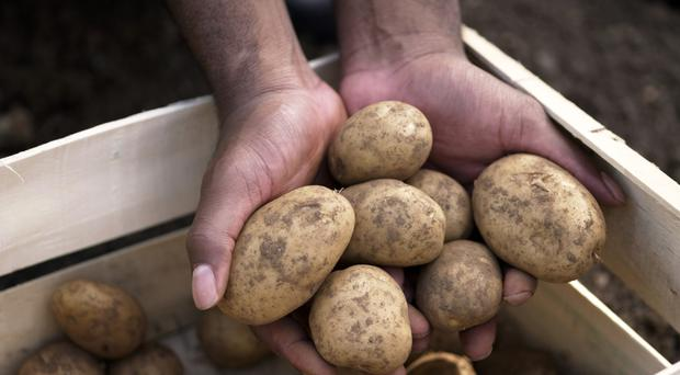 Potato farmers in Northern Ireland could potentially be facing the worst in harvest since 1985, according to the Ulster Farmer's Union.
