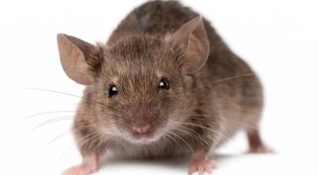 Mice accounted for 82% of experiments carried out on animals