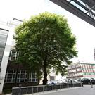 The tree, which stands between Queen's University and Belfast City Hospital