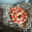 Sidney the corn snake