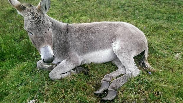 One of the donkey's hooves were so long that she could barely stand