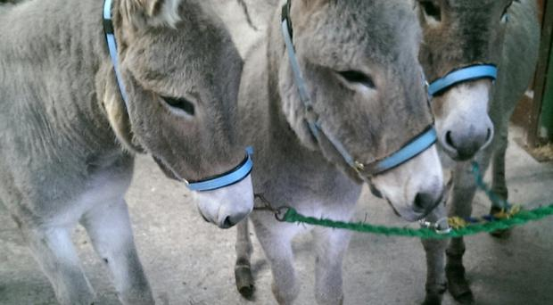 Faith, Hope and Charity found refuge at The Donkey Sanctuary this Christmas