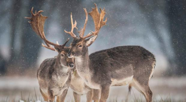 Fallow deer stand in a field as snow falls near Moerfelden-Walldorf in Germany