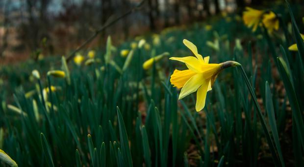 This year has seen daffodils appearing in February