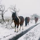 Horses struggle through the snow on Divis Mountain outside Belfast in January (file image)