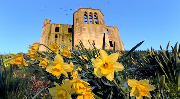Daffodils in bloom outside Warkworth Castle in Northumberland (Owen Humphreys/PA)