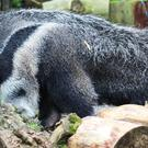 The giant anteater takes its first public steps at Belfast Zoo
