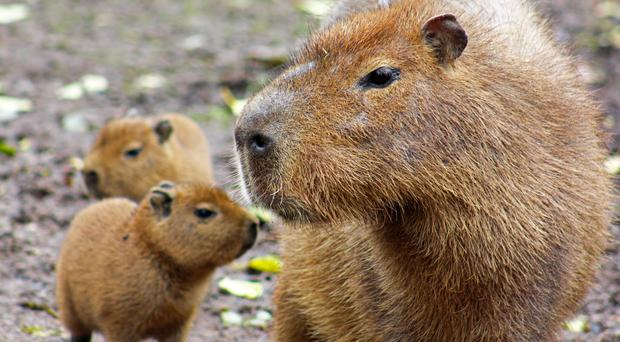 Belfast Zoo wants your help to name capybara babies ...