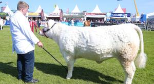 Cattle judging at the Balmoral Show yesterday
