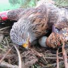 Poisoned: two red kites were killed