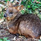 Southern pudu Maximus was born at Belfast Zoo in May